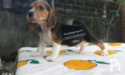 For Sale Male Quality Beagle Puppy Phil champ / HOF /