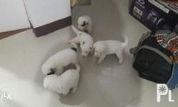 For sale mix breed puppies 1 month old no vaccines yet