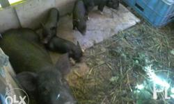 1 Sow first parity(3000) And 4 Piglets 30days
