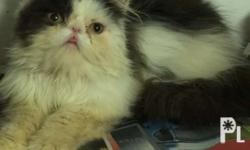 For sale or Swap Male kitten 3mos Flat Nose Healthy