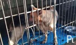 Bawas alaga po. Pwd swap sa 1 large breed dog with the