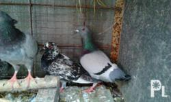 for sale pigeons.... 8 nalang ang available krn.. tx c