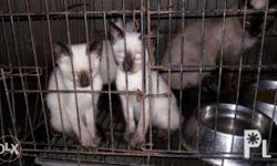 for sale pure breed Siamese kitten both parents pure