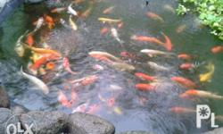 we for sale cheap quality koi fish in deffirent color