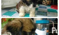for sale shih tzu puppie princess type. small frame,