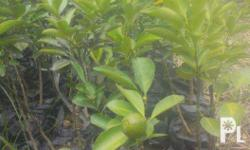 Availabe: Lemonsito seedlings (Grafted and MArcotted)