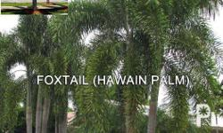 wholesale palm tree supplier , foxtail palm or hawain