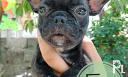 Quality french bulldog puppies Pcci registered Updated