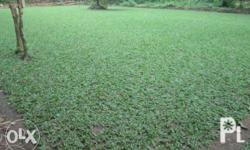 FOR SALE!!! FROG GRASS- 60 pesos per sq. meter For