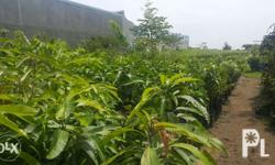 fruit bearing trees available at J.L.A. AGRO-FOREST