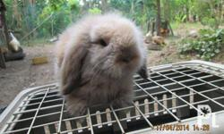 Pure Fuzzy Lop For Sale at P3500/head. We do shipment