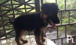 SHOW Quality GSD Double coat XXL Good temperament DOB