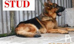 german shepherd 2x mating with shooter included proven