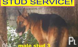german shepherd ganador big head, bulky body, big paws,