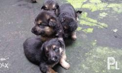 1 month old Pure breed puppies with good lineage.