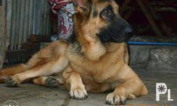 STUD for german shepherd 2x mating NOTE: shooter fees