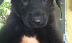 For sale purebreed germansherd All female All black and