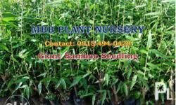 Available: Giant Bamboo Seedling Prices: 25.00 pesos