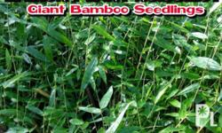 Giant Bamboo (Dendrocalamus Asper) for Sale in Sumilao, Northern