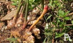 fresh ginger for sale,., we can supply up to 5 tons,.