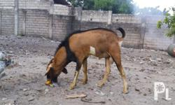 Goat high bread Pure Anglo nubian Barako More than