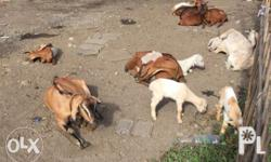 Goat kambing for sale At guiguinto bulacan farm near