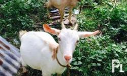 For SALE! SALE! two goats! two goats! na pregnant! :D