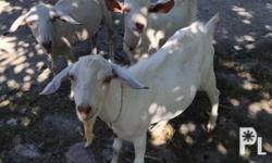 P3,000 EACH Female Goat - 1 year old Male Goat - 7