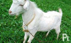 MITOY Goat for Sale for only 2,000 to 3,500 Pesos