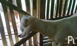 Sire/ Ama: Pure Anglo Nubian and AGF Boer Goat Dam/