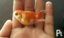 Its a best breed of gold fish that is so cool