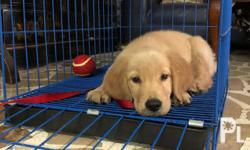 2mos Golden Retriever Puppy Male 2x 5in1 3x deworm PCCI