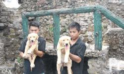Pure Breed Female Golden Retriever Pet Quality.Fed with