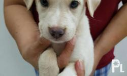 Puppies for sale! Ready for release Gender : Female