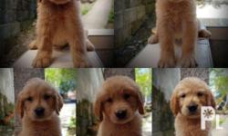 Golden Retriever Puppies for Sale DOB: March 26, 2018