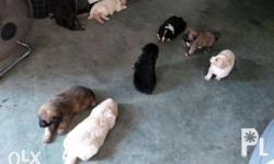 Im selling my 8 crossbreed puppies. Mom:cross german