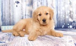 Pure quality golden retriever Female 2months old Pcci
