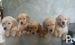 Friends, PLEASE SHARE! Golden Retriever puppies for