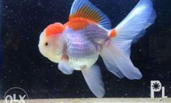 Oranda goldfish and koi for Sale in Pasig City, National Capital
