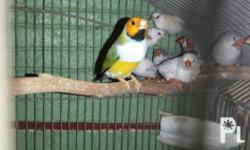 For sale Gouldian cock 9-10 months OHWBGB