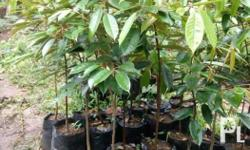 Seedlings Available: Grafted Durian Seedlings Grafted