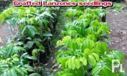 BADION PLANT NURESERY sell a wide range of fruit trees