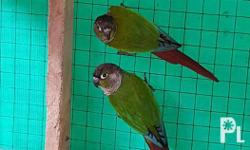 Proven Pair Green Cheek Conure With DNA Hen - Normal