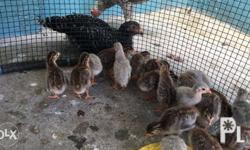 Bengala Keets Weeks Old Pearl Grey 300.00 for pick up