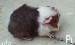 Selling 1 month old abysinian guinea pig boar (male)