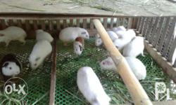 adult guinea pig. 250 small ones are 150. call or tx