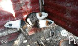 One pair of guineapig for only 450.00. Meet up Malolos