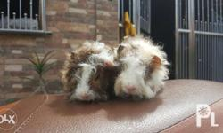 Guinea Pig Lunkarya Both males 2 months old Laguna Area