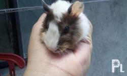 Guinea Pig for sale 2 month-olds Abbysinians 3 Boar 1