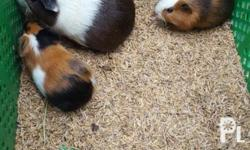 Guinea pigs For sale ! $800 Pair Pag isang gunie pig